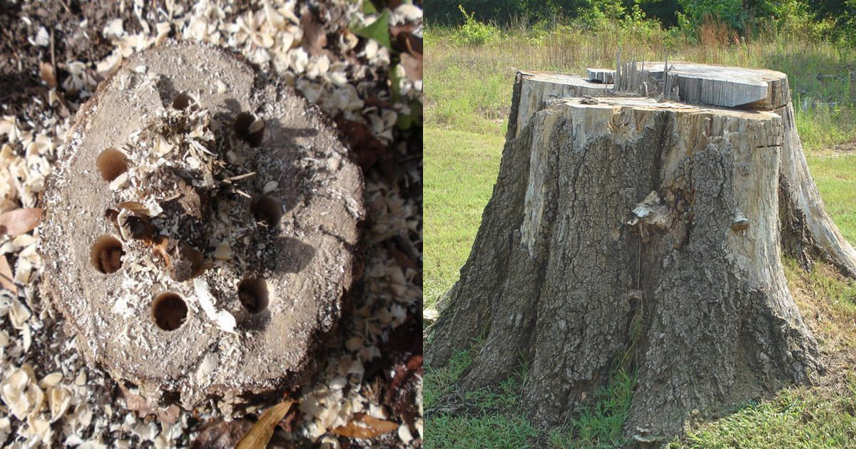 Killing Tree Stumps Naturally Is Safe And Doesn T Require Chemicals In This Article You Ll Learn