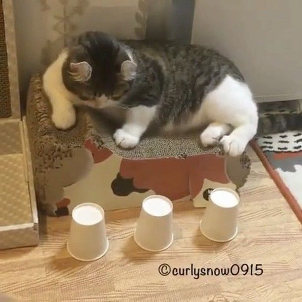 "Video by @curlysnow0915: ""Snow's cup and ball trick compilation!"" Video via @cats_of_instagram"