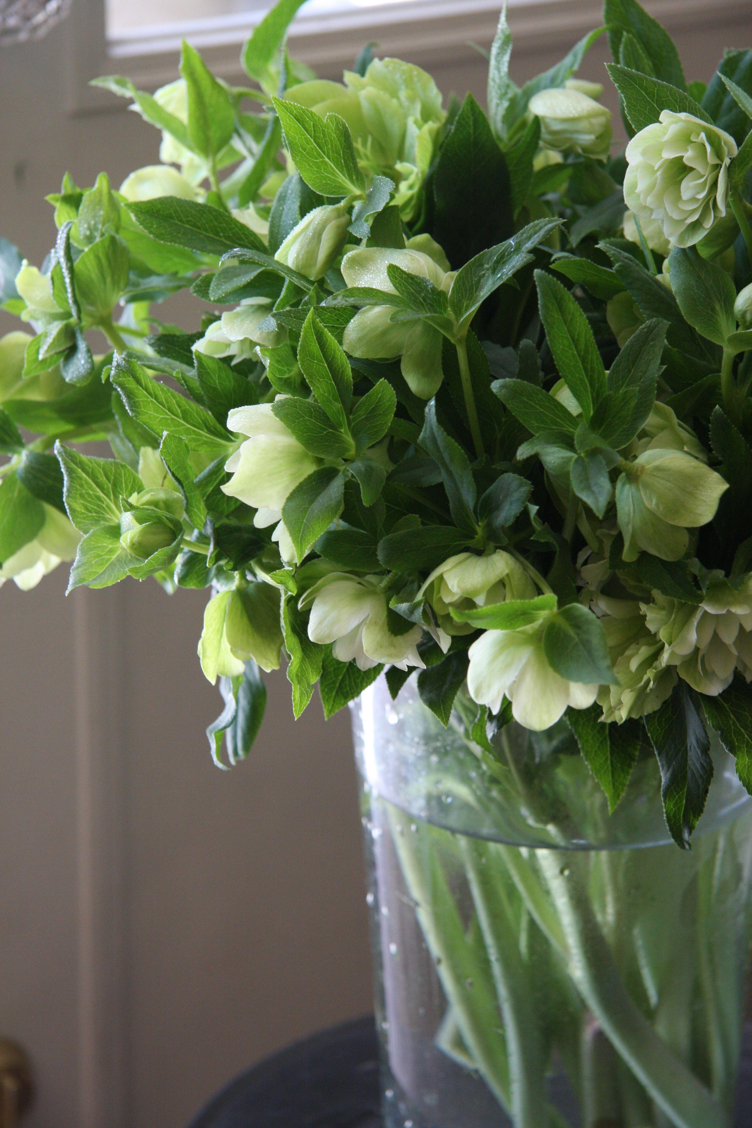 Helleborus double ellen green