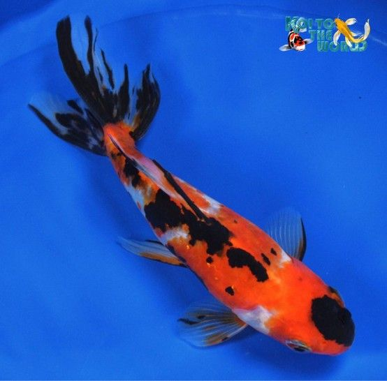 Goldfish Watonai with almost a reverse tancho Animals