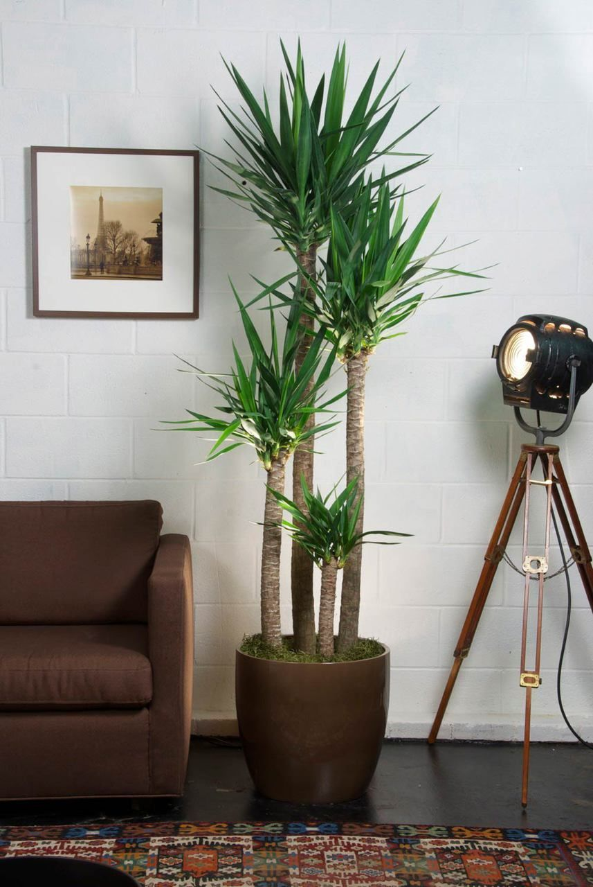 Large Yucca Cane Large Indoor Plants Tall Indoor Plants Plant Decor Indoor