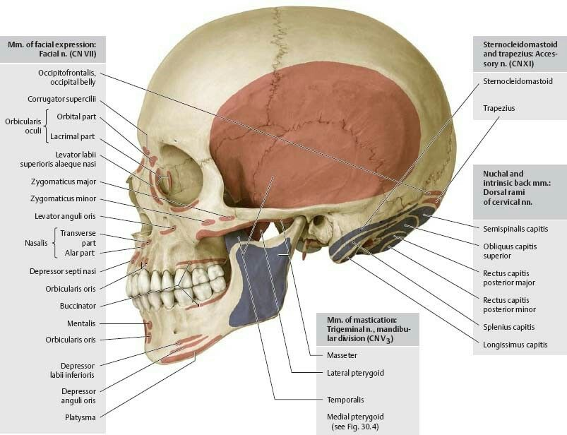 Muscle attachments of skull (lateral view - Norma lateralis ...
