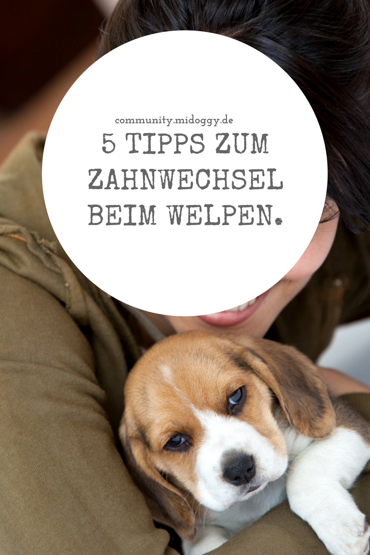 5 Tipps Zum Zahnwechsel Beim Welpen Midoggy Community Welpen Hundewelpen Tipps