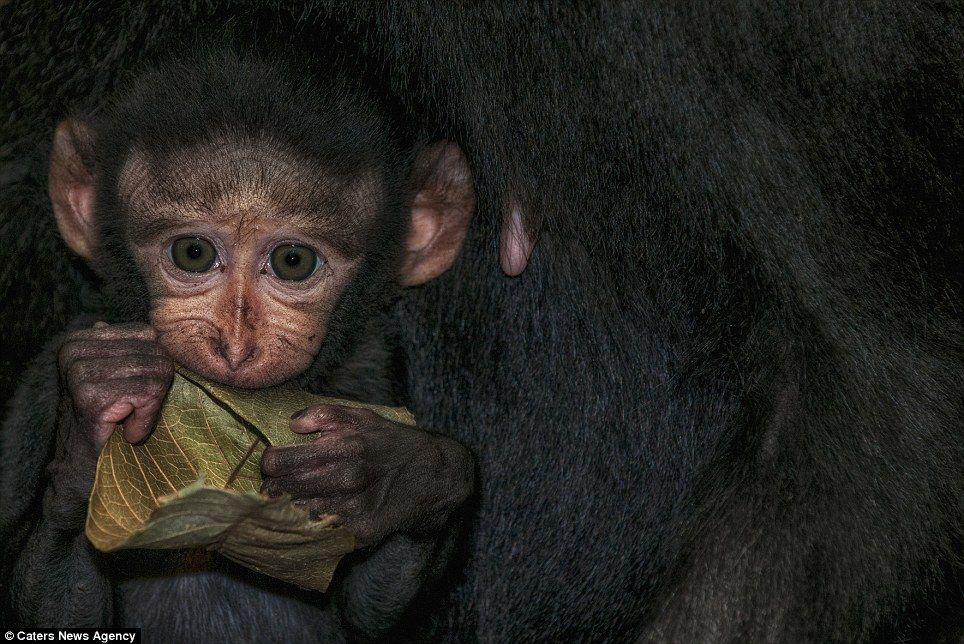 Photographer Simone Sbaraglia hopes his pictures will raise awareness of the endangered monkeys that live in Indonesia