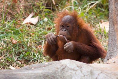 Happy Birthday, Dumadi! Sumatran orangutan Dumadi turns 6 years old