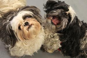 Adopt Ariel And Cece Bonded On Petfinder Shih Tzu Dog Animal Activism Shih Tzu