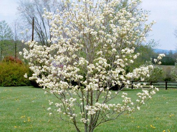 Flowering Dogwood Tree Varieties Backyard Landscaping Designs Dogwood Trees Florida Plants
