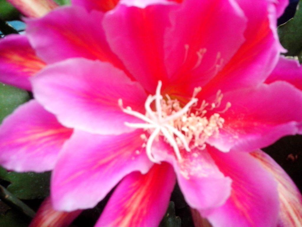 flor de nopalillo