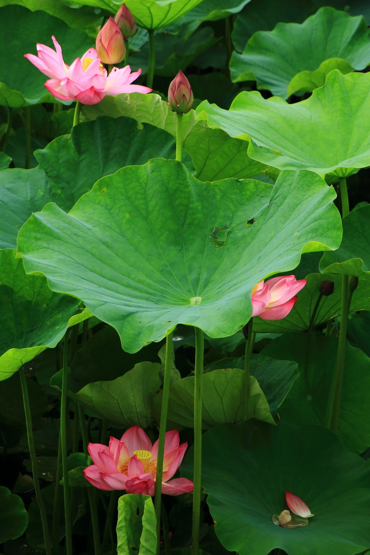 東寺のいろんな高さで咲く蓮の華 蓮の花 美しい花 ハスの花
