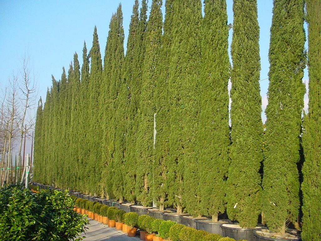 Cupressus sempervirens totem Säulenzypresse | Hecke | Pinterest ...