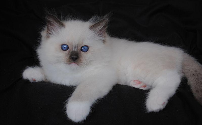 Ragdoll Cat Breeders Ragdoll Kittens For Sale In Ohio Cincinnati Columbus Ragdoll Kitten Ragdoll Cat Breeders Cat Breeder