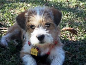 Adopt Dixie on Cute dogs, Puppies, Shih tzu mix