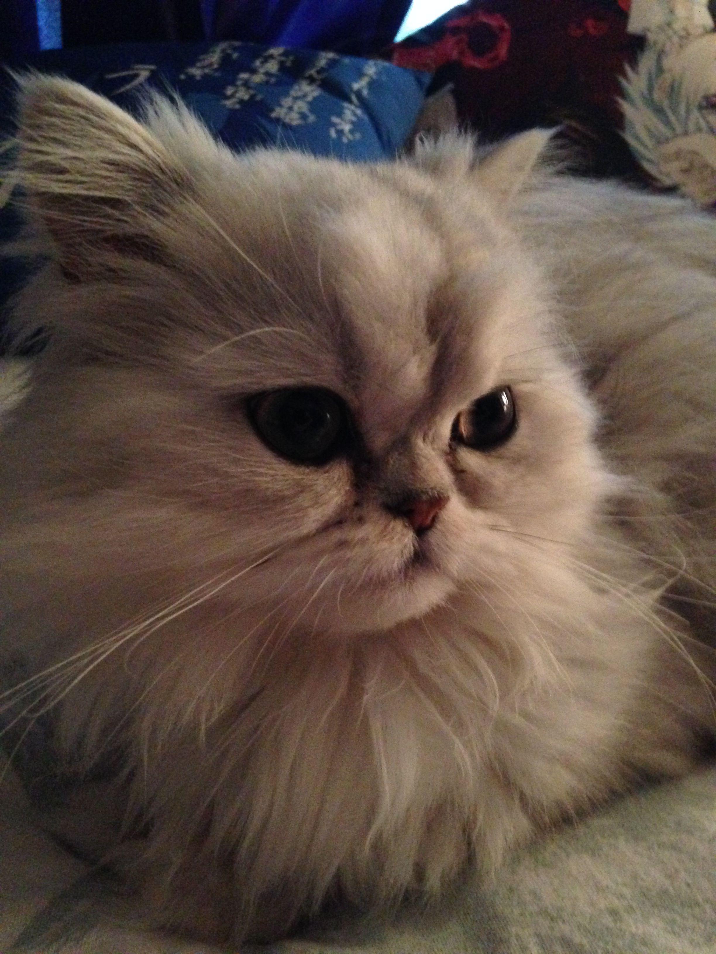 Kitten Teacup Persian Cats Russian blue cat, Munchkin