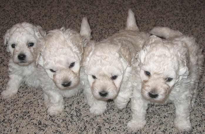White Puli Puppies For Sale Dogs We Are Considering