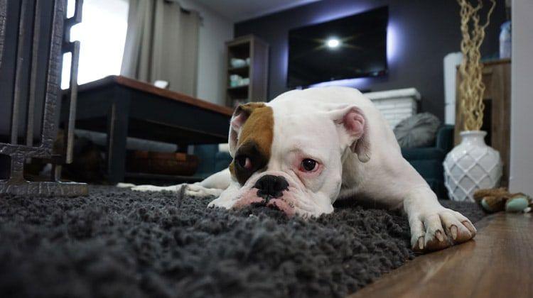 8 Medium Dog Breeds Perfect for Apartment Living! https://petsymptoms.com/medium-dog-breeds-apartments/