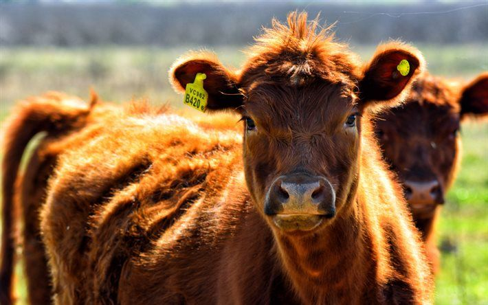 Cows 4k Pasture Blur Cow Pictures Cows Funny Animals