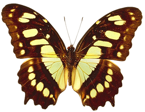 PNG Transparent Brown and Yellow Real Butterfly Clipart