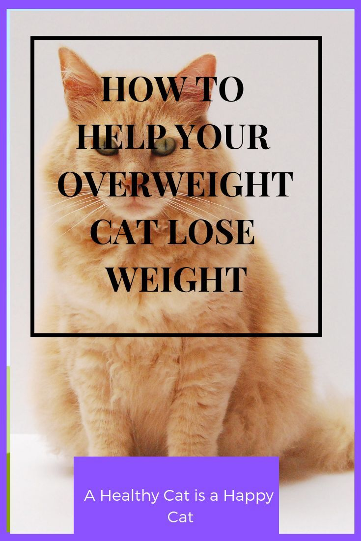 What to do about my Overweight Cat  First Time Cat Owner  Cat Health