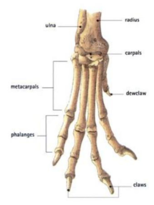 Gray wolf (Canis lupus) Anatomy,\