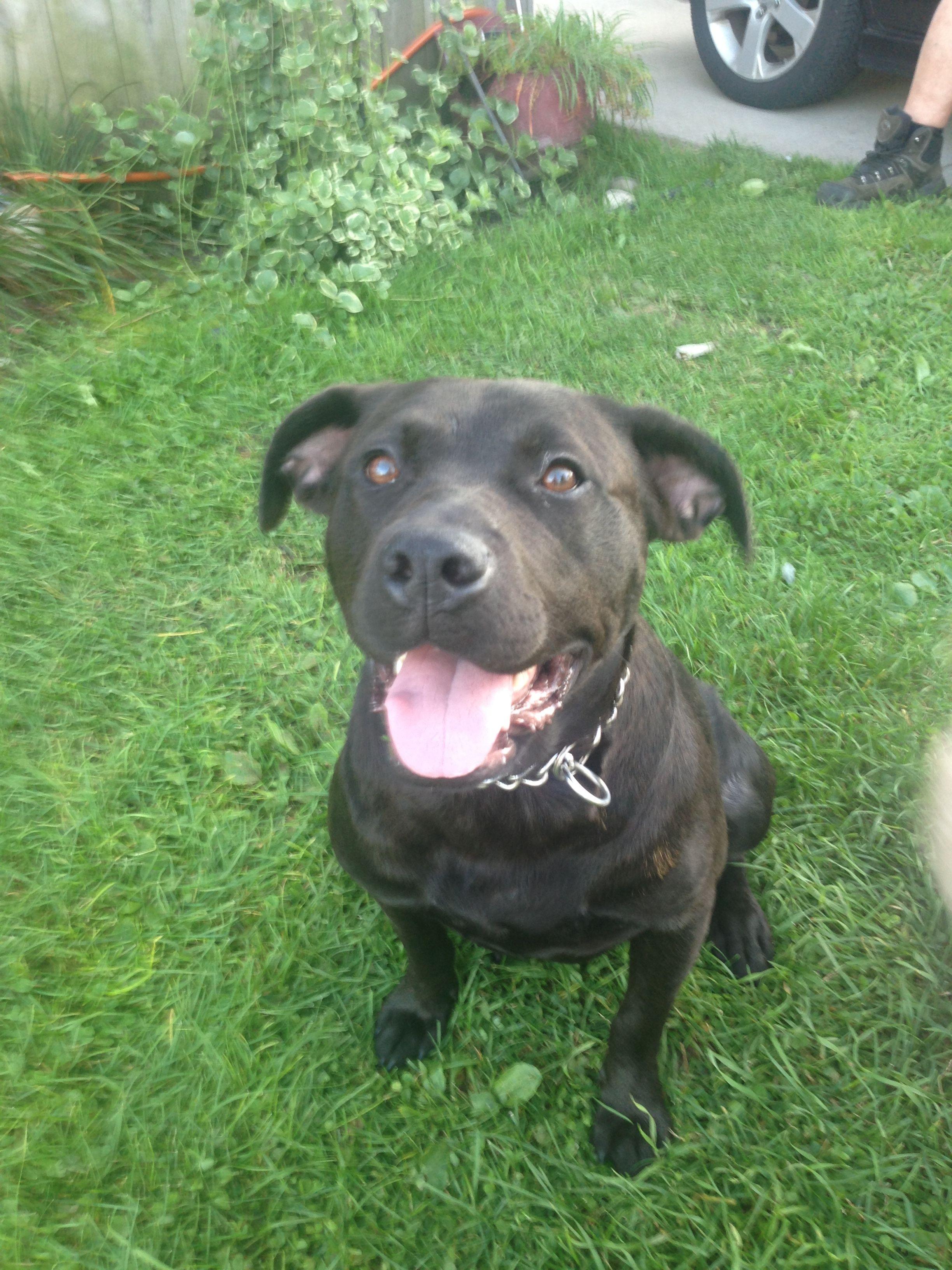 Adopt diamond on american staffordshire terrier rescue