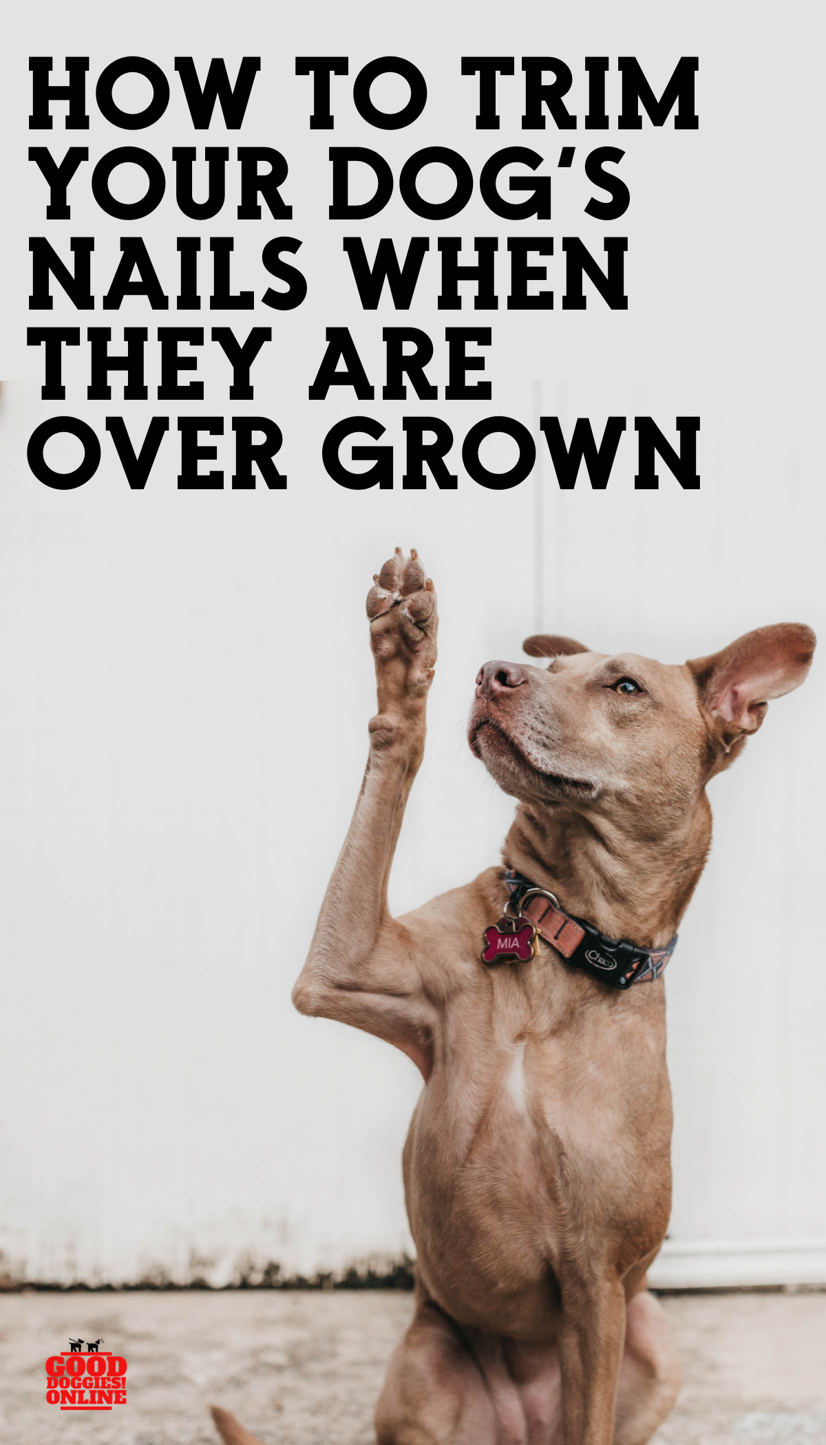 Hire To Trim Dog Nails That Are Overgrown Check Out These Dog Grooming Tips On How To Clip Your Dog S Nails Trimming Dog Nails Dog Nails Good Doggies Online