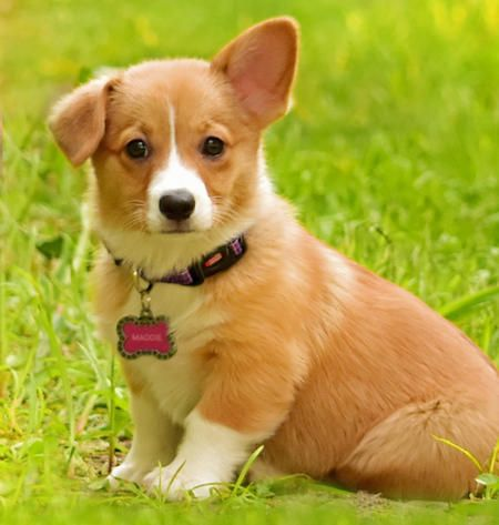 Maddie The Pembroke Welsh Corgi Precious Cute Puppy Names