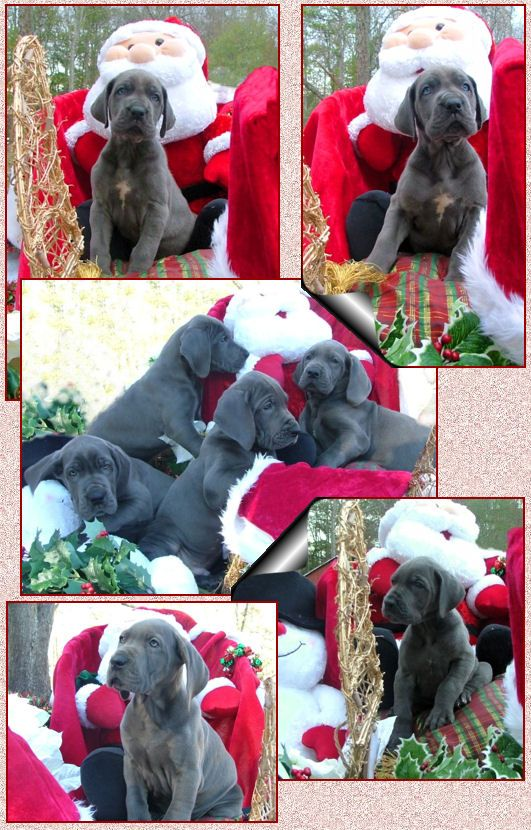 Victory Great Danes Yes This Is What I Want For Christmas All