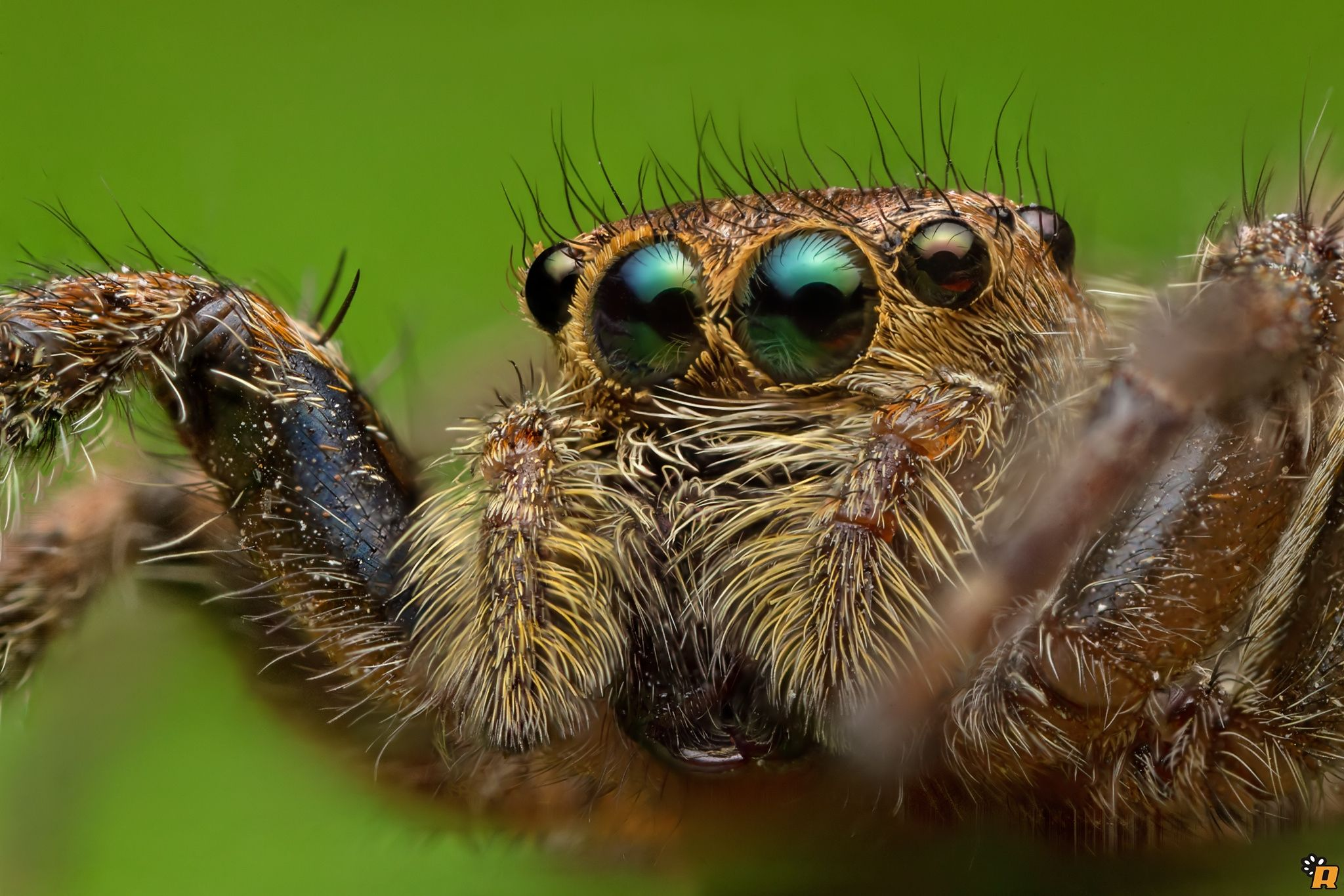 Green Eyes - A jumping spider (Plexippus petersi) found in the ...
