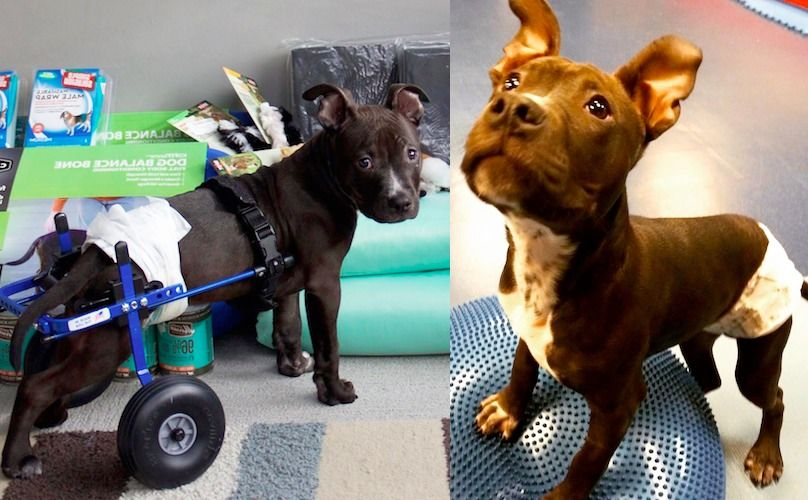 Partially Paralyzed Pit Bull Puppy Lieutenant Dan Is Learning To Walk (Be Still Our Hearts)