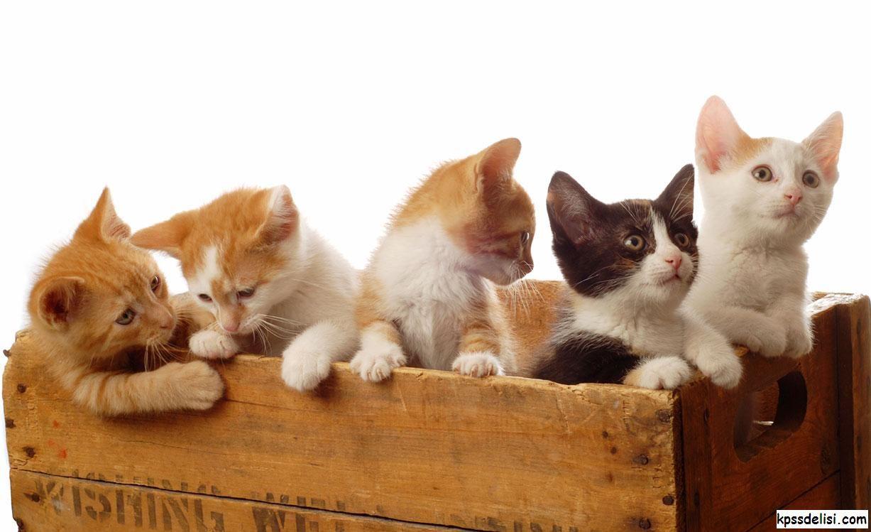 Kedi Resimlerinden komik kedi resimleri en güzel yavru kedi