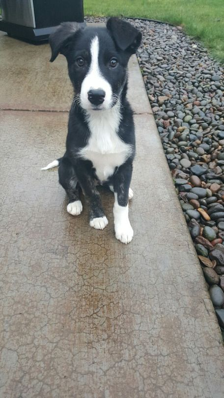 Handsomedogs Mcnab Dog Cute Dogs Breeds Short Haired Border Collie