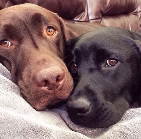 Brownie Lab Pitbull Mix Puppy In Elizabeth New Jersey Bloodhound Puppies Puppies Pitbull Puppies
