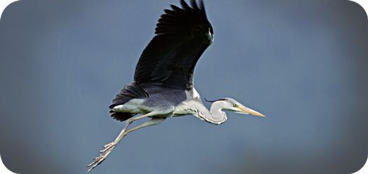 Meaning Of The Heron And Symbolism Of The Heron Totem Herons