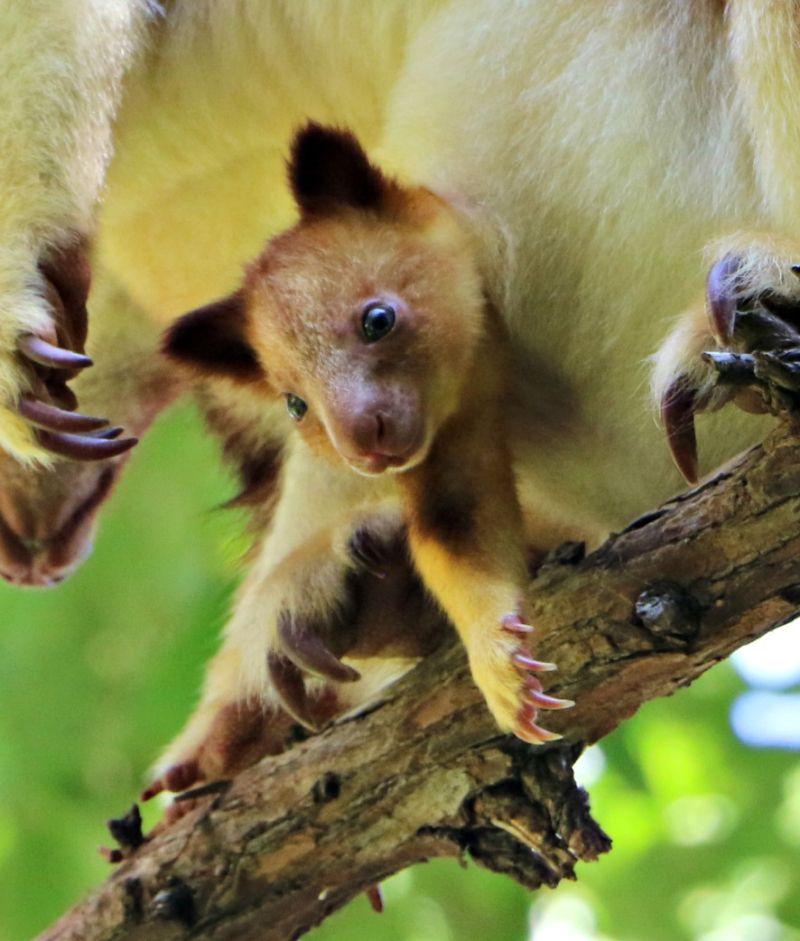 Endangered Tree Kangaroo Joey Peeks Out of Pouch ...