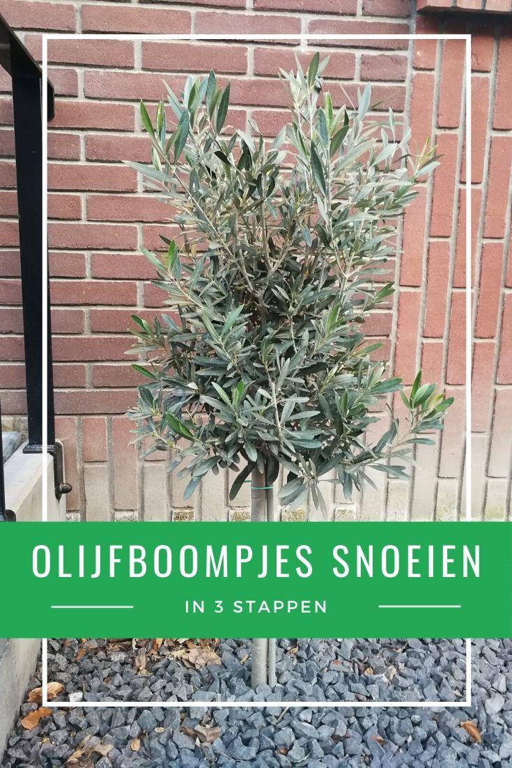 In het voorjaar, in maart of april, is het goede moment om olijfboompjes te snoeien. In dit artikel vertellen we hoe je dat doet.   #olijf #olijfboom #olijfboompje #snoeien #tuinieren #lente #maart #april