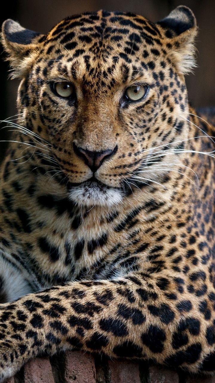 Confident Predator Leopard Animal 720x1280 Wallpaper Animales
