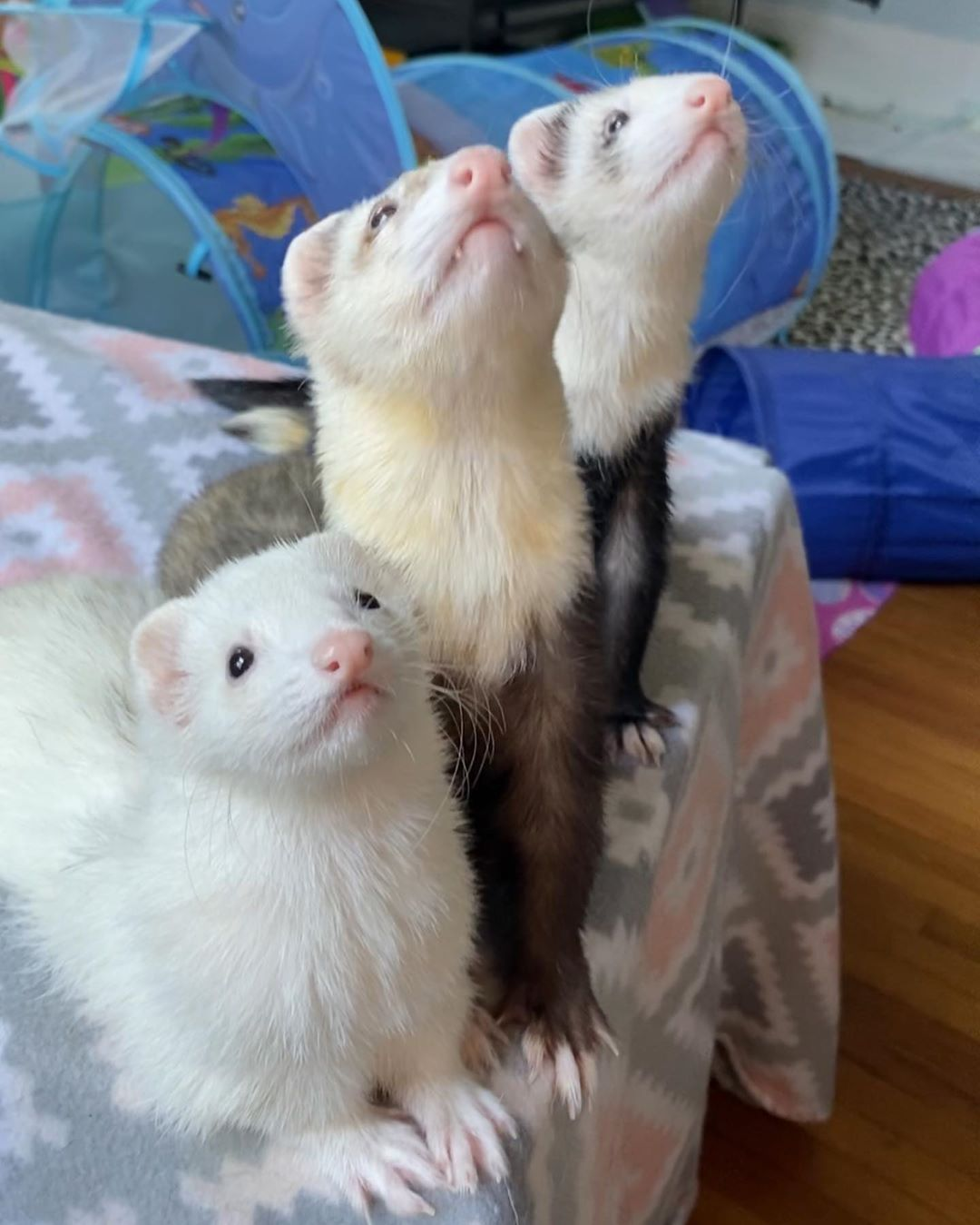 Cat And Ferrets Cuddling Are Just Too Much To Handle Ferret Cute Animals Animals