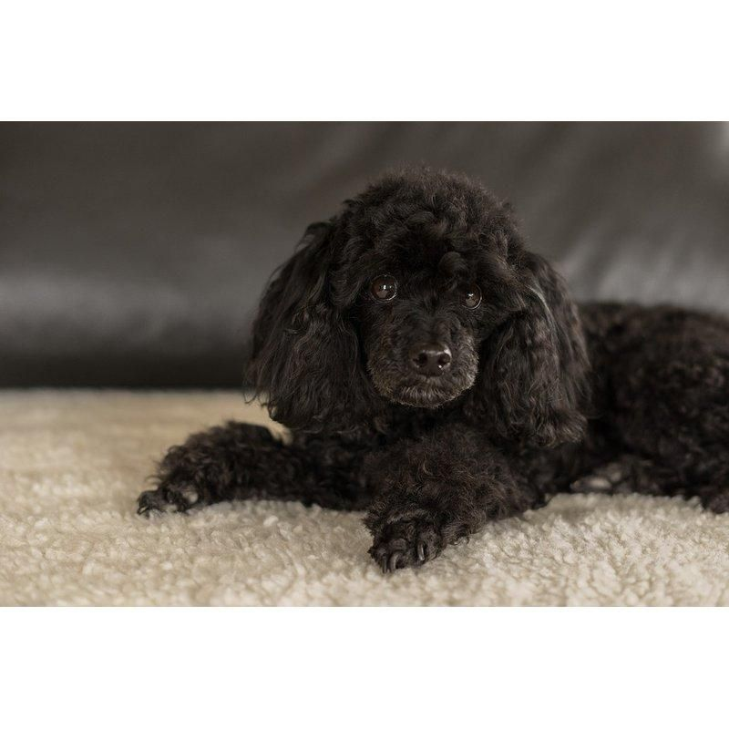 Diamond painting black poodle dogs dogs puppies poodle