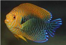 Potters Anglenfish