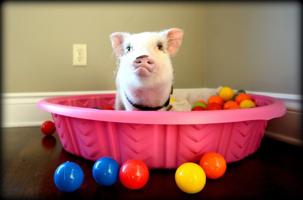 Keeping our mini pig entertained was a challenge We found that only