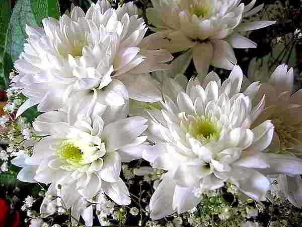 Manfaat Bunga Krisan Untuk Obat Tradisional Chrysanthemum Dahlia Chrysanthemum Flower