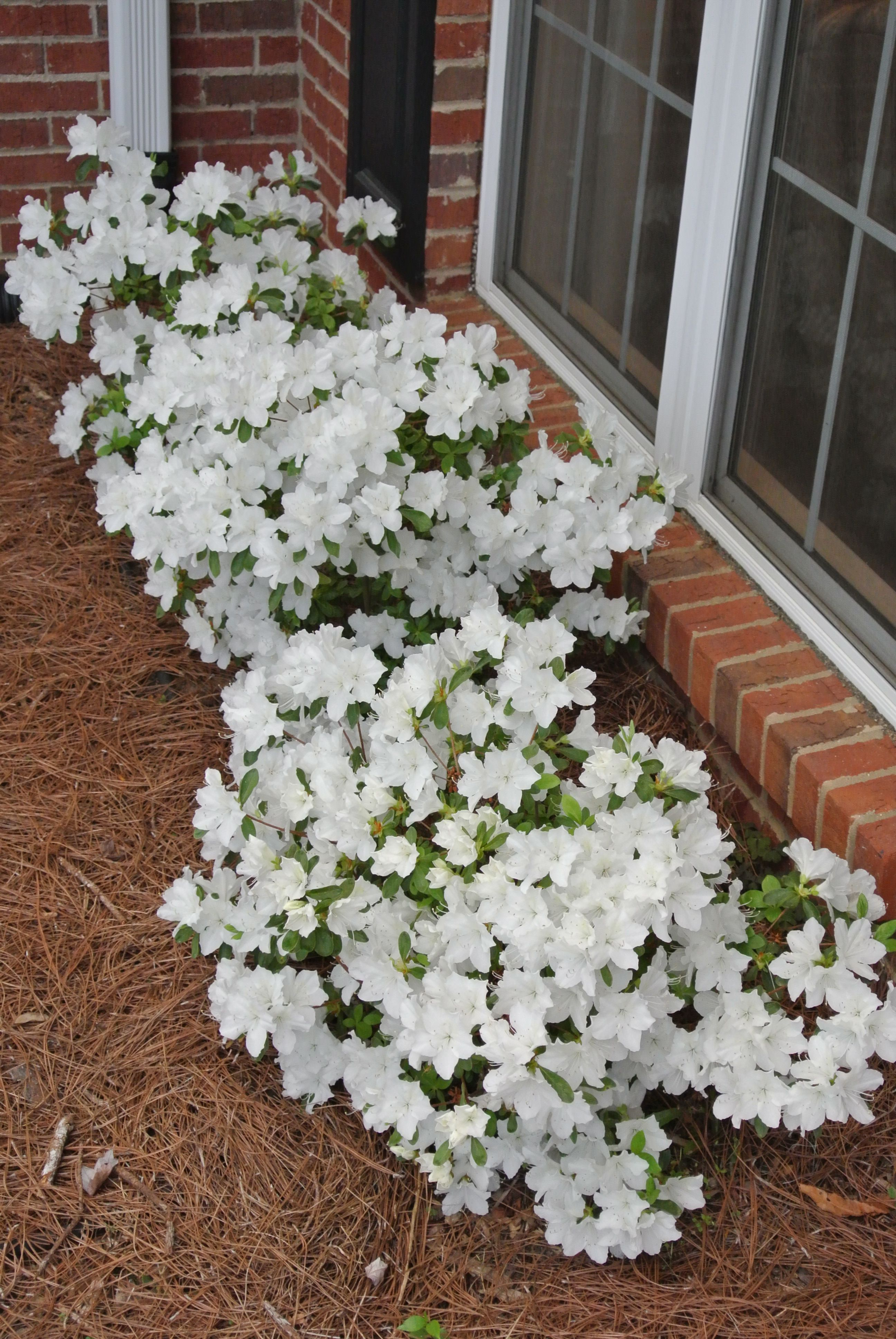 Delaware Valley White Azaleas In Mid April White Azalea Flower Garden Front Yard