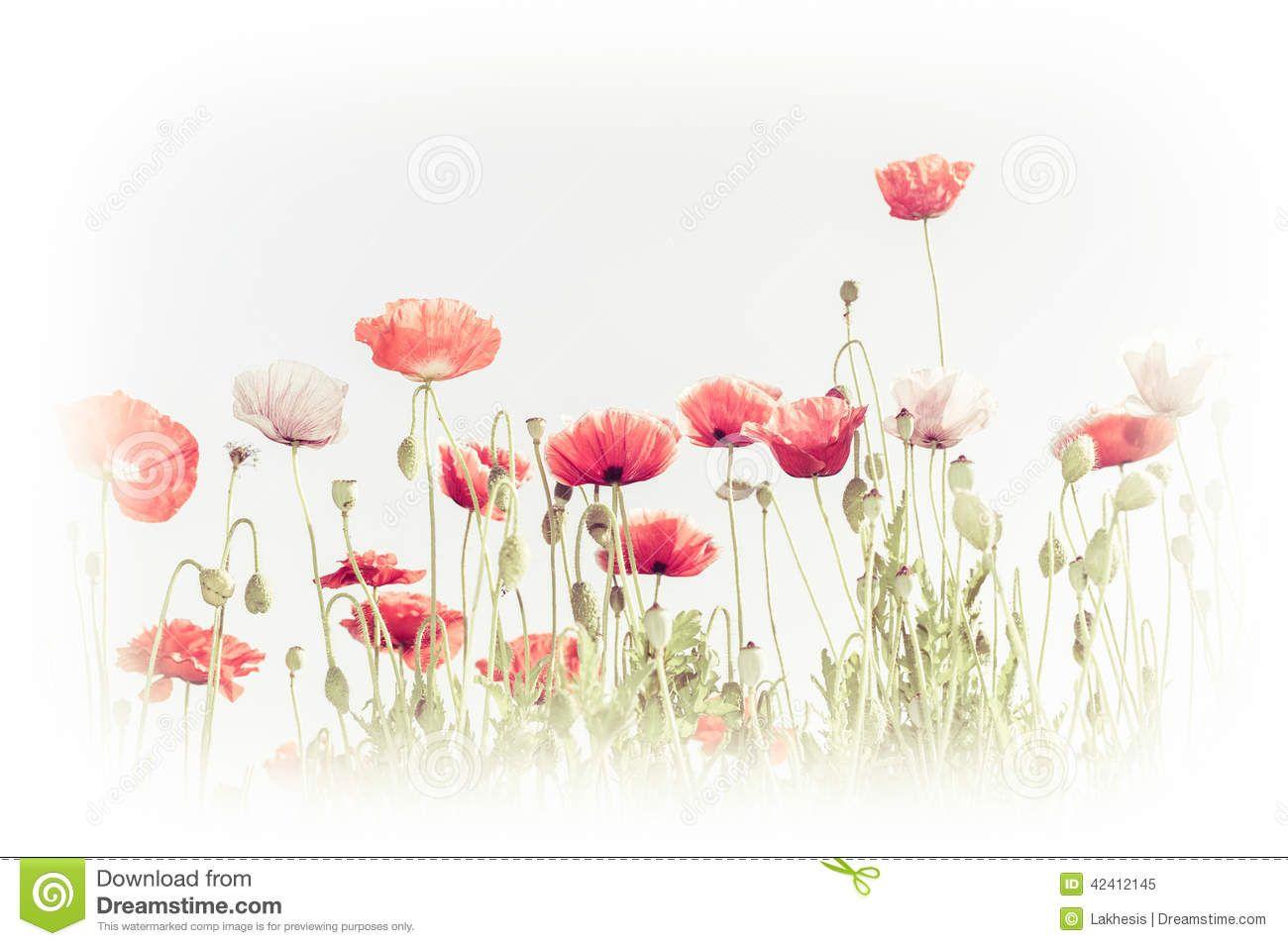 Wild Poppy Flowers On Summer Meadow Floral Background Florilegium
