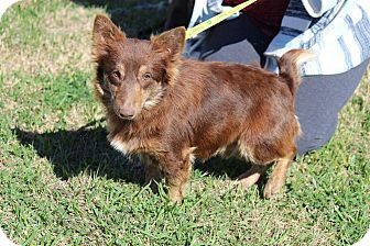 Fort Atkinson Wi Corgi Terrier Unknown Type Small Mix Meet Doc Man A Dog For Adoption Http Www Adoptapet Com Pet 174906 Corgi Mix Corgi Dog Adoption