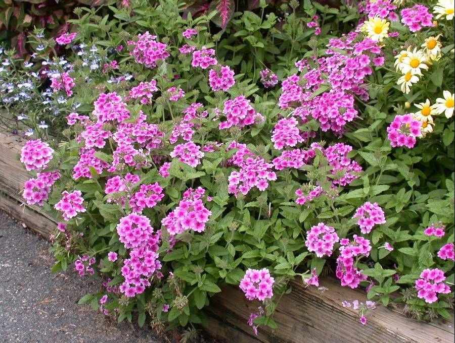 Garden Verbena | UMass Amherst Greenhouse Crops And Floriculture Program