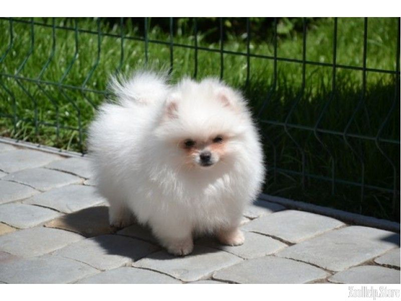 Pomeranian For Sale Near Me Pomeranian For Sale Maryland Pomeranian For Sale Virginia Pomeranian For Sale In Pomeranian Puppy Pomeranian Puppy For Sale Puppies