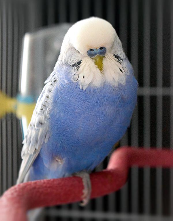 Parakeet Periwinkle Birds Parakeet Pet Birds Bird