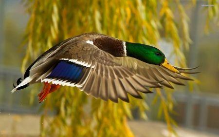 Mallard Flying Ducks Wallpaper Id 1126087 Desktop Nexus Animals Duck Wallpaper Duck Hunting Hunting Backgrounds