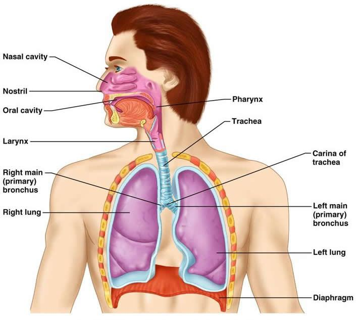 The Respiratory System Health Nursing First Aid Pinterest