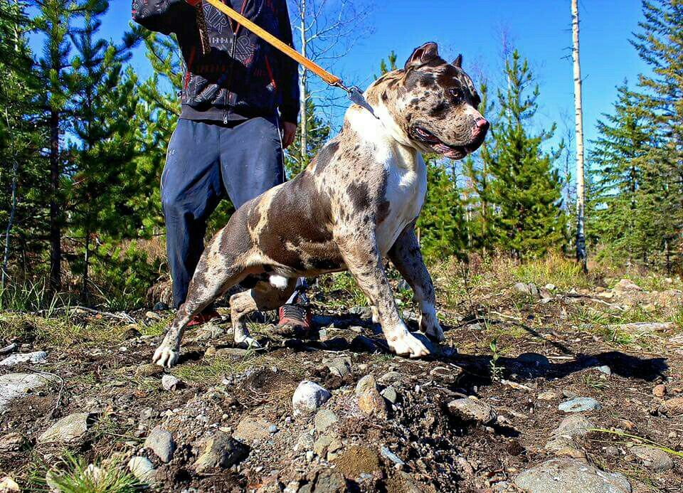 Merle American Bully Big Dogs American Bully Bred Pit